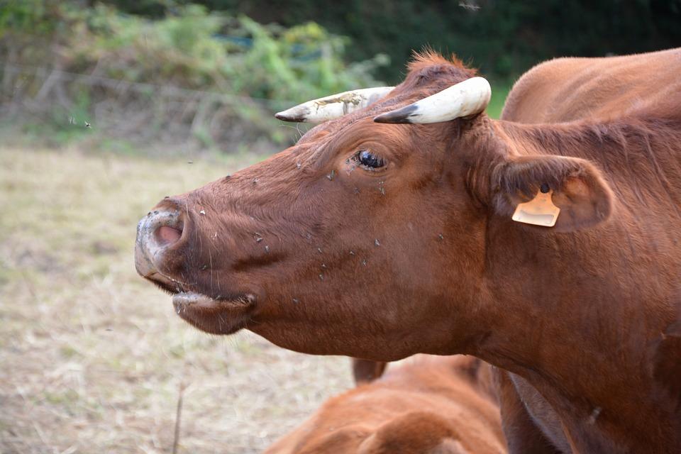 Cow, Cowhide, Mooing, Moo, Cow Armorican, Ruminant