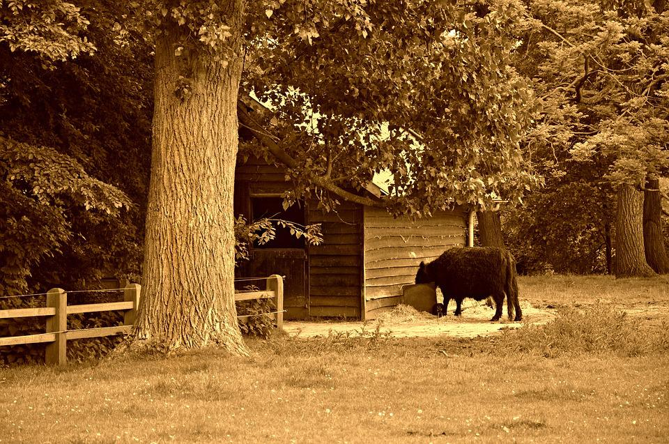 Cow, Cattle, Livestock, Feeding, Hay, Shed, Barn, Rural