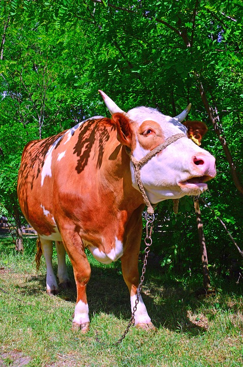 Cow, Boo, Cattle, Milk, Spotted, Ungulates