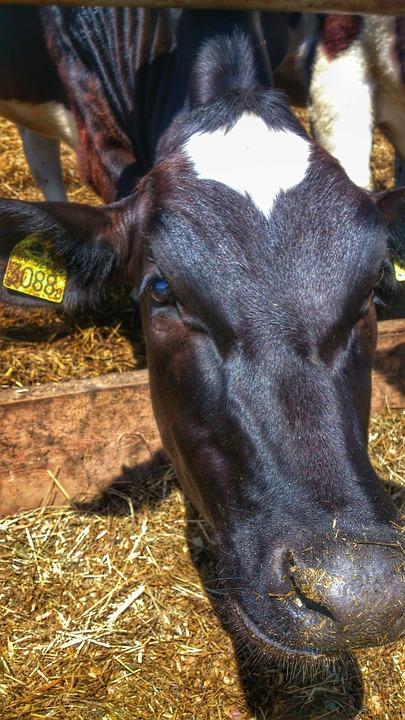 Cow, Calf, Village, Hay