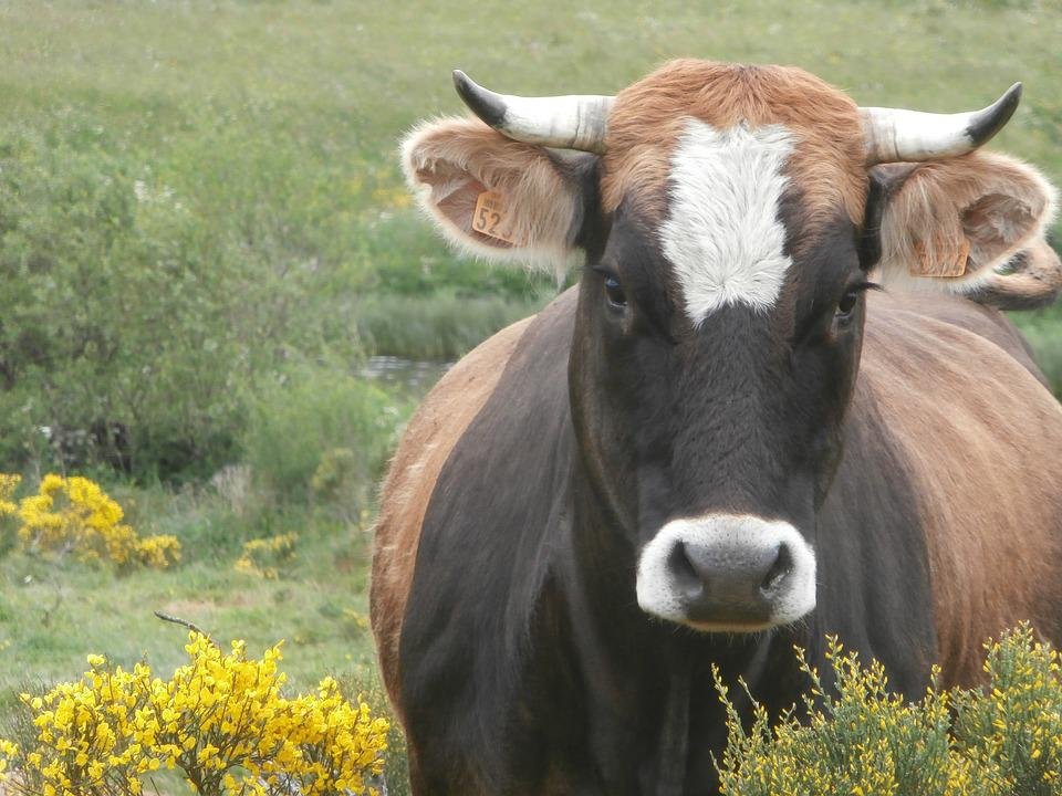 Cow, Animal Farm, Cattle, Closed Nature, Ruminant