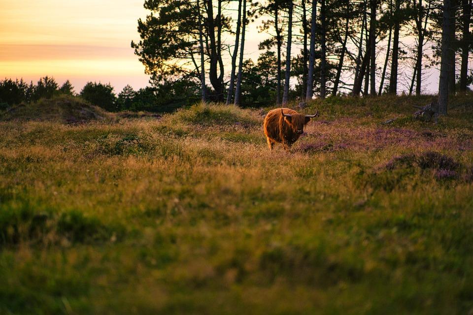 Animal, Highland Cattle, Mammal, Bull, Cow, Pasture