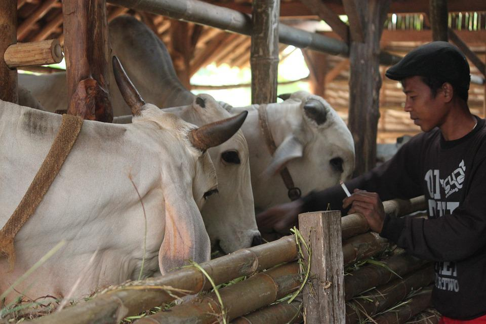 Cattle, Cattle Farmers, Cow Java, Indonesian Cattle