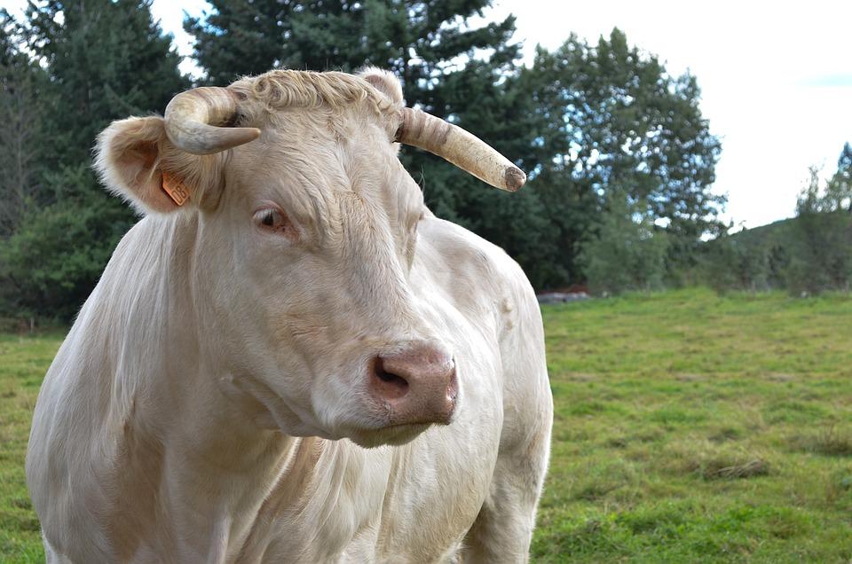 Lawn, Field, Livestock, Animal, Cow, Beef Cattle