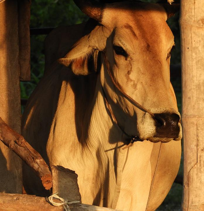 Cow, Brown, Livestock, Cattle, Animal