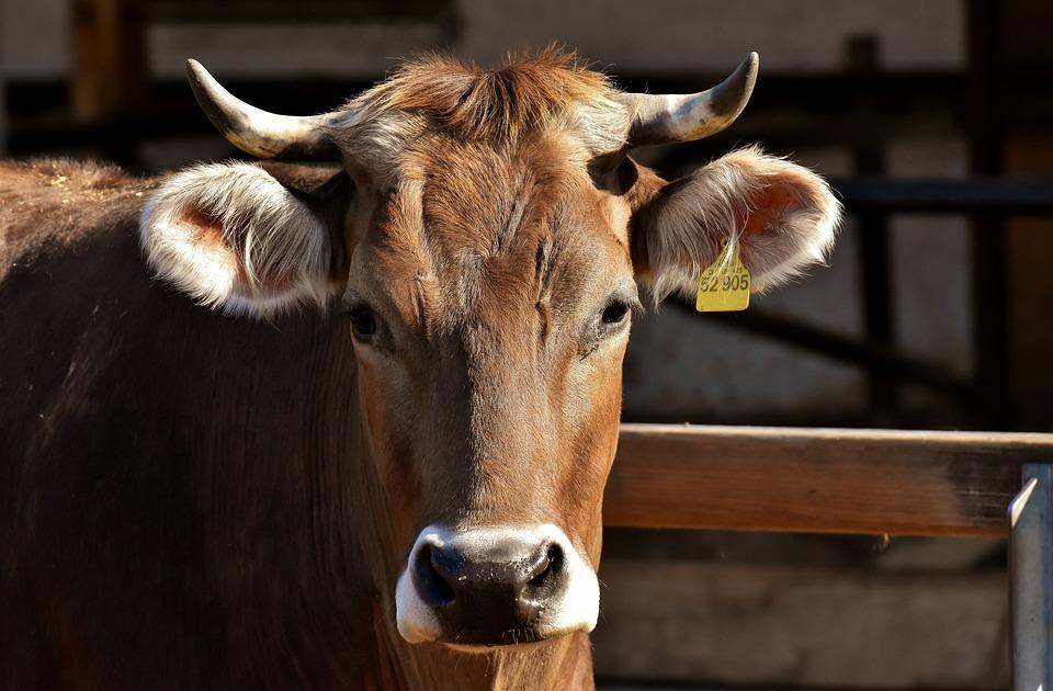 Cow, Beef, Snout, Hoofed Animals, Animals, Livestock