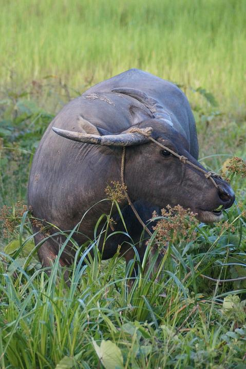 Water Buffalo, Buffalo, Animal, Cow, Livestock