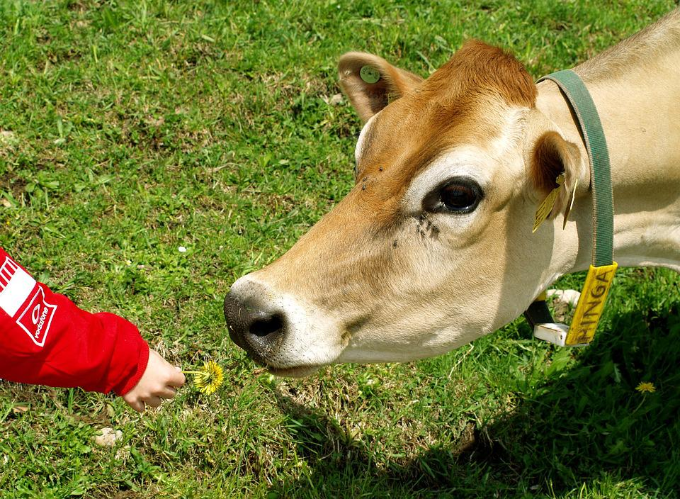 Cow, Animals, Alm, Nature, Mammal