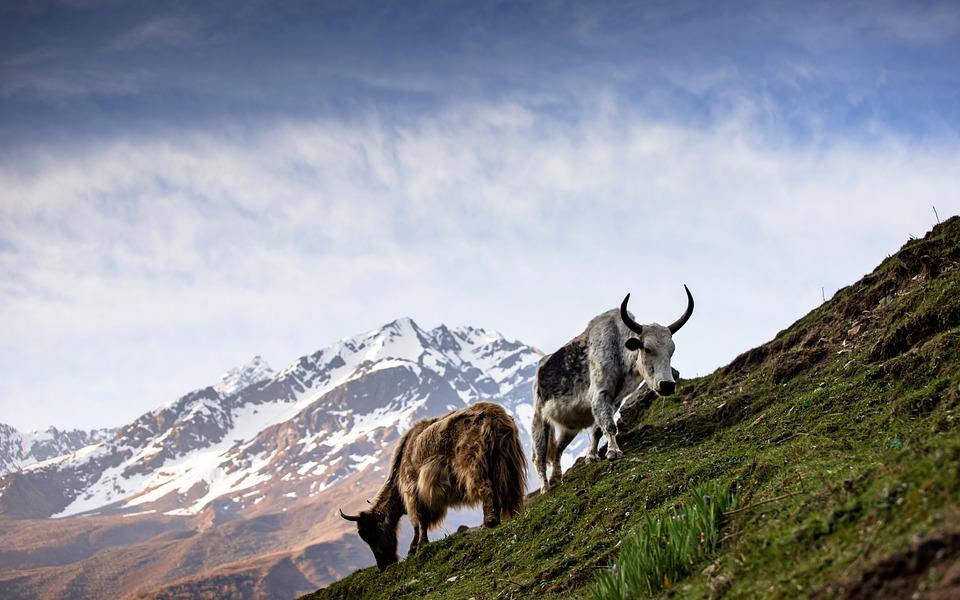 Mountain, Cow, Grass, Green