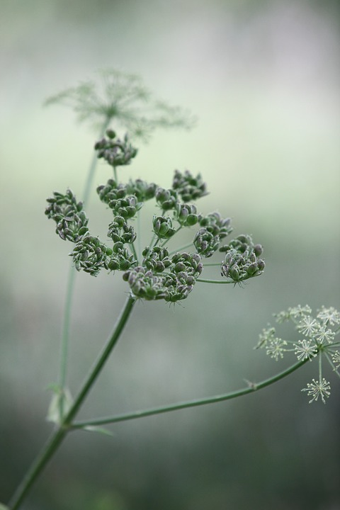 Cow Parsley, Buds, Flowers, Wild Chervil