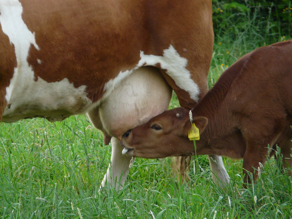 free photo cow suckle milk drink young animal calf udder max pixel