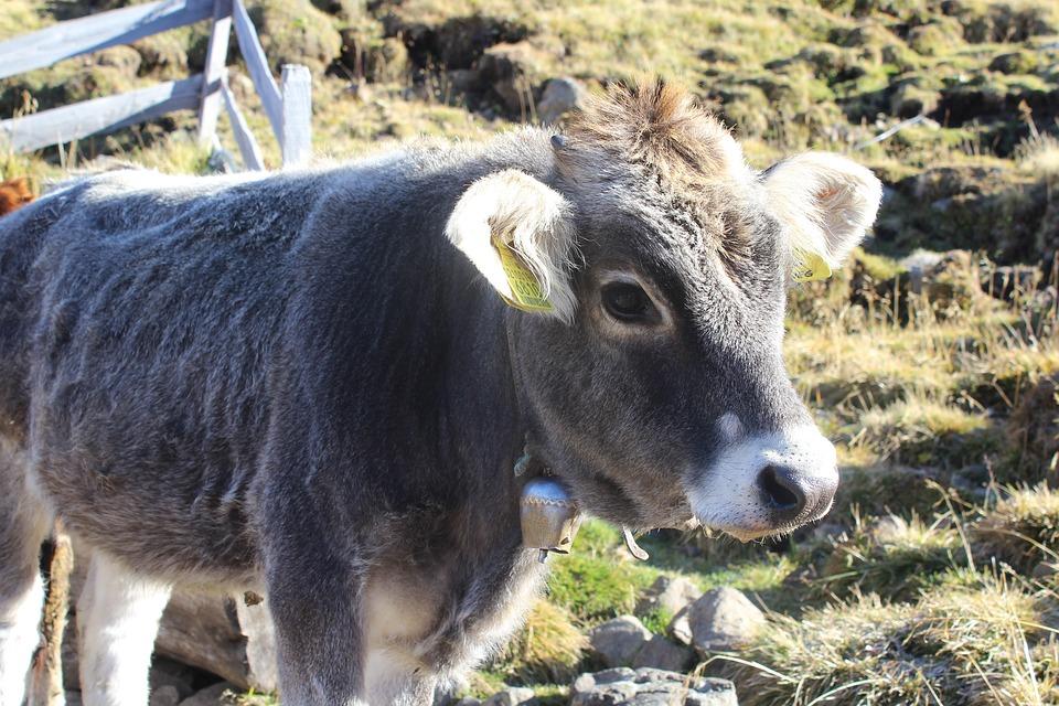 Calf, Cow, Beef, Grey, Cowboy, Animal, Agriculture