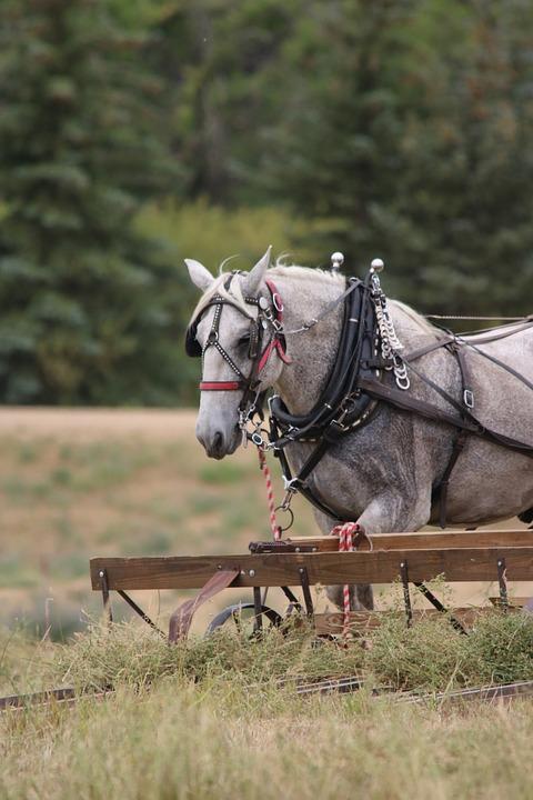 Horses, Cowboy, Farmer, Hay, Draft Team, Percheron