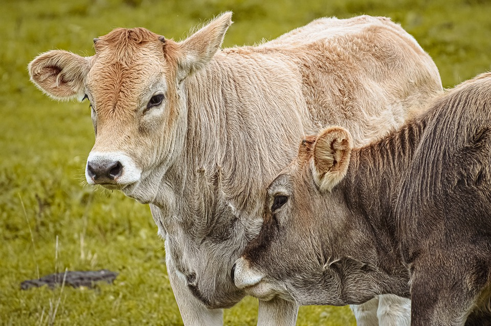 Cows, Dairy Cattle, Pasture, Ruminant, Animal, Cattle