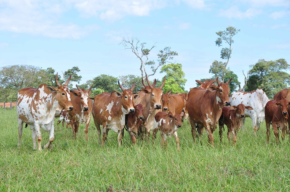Cattle, Cows, Spotted, Pasture
