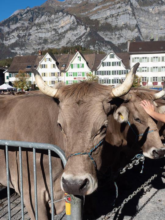 Cattle Show, Cattle Market, Cows, Glarus