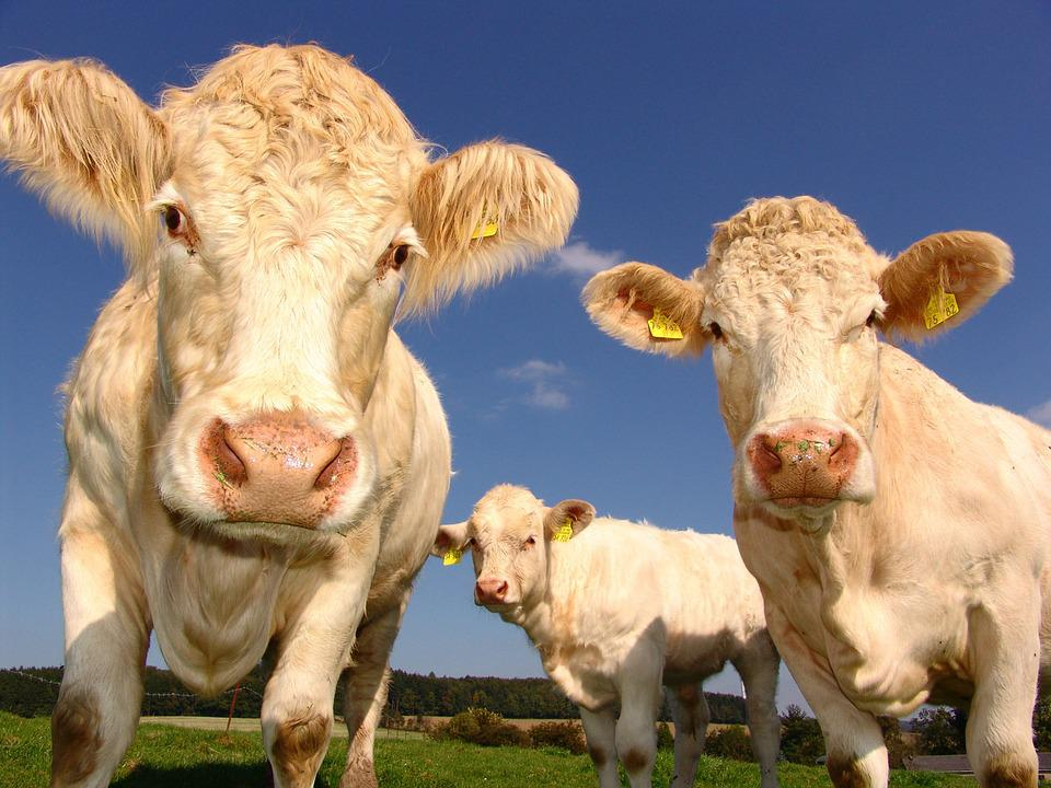 Cows, Curious, Cattle, Agriculture, Cattle Breeding