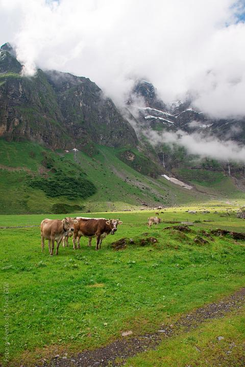 Cows, Alp, Switzerland, Canton Of Glarus, Glarus