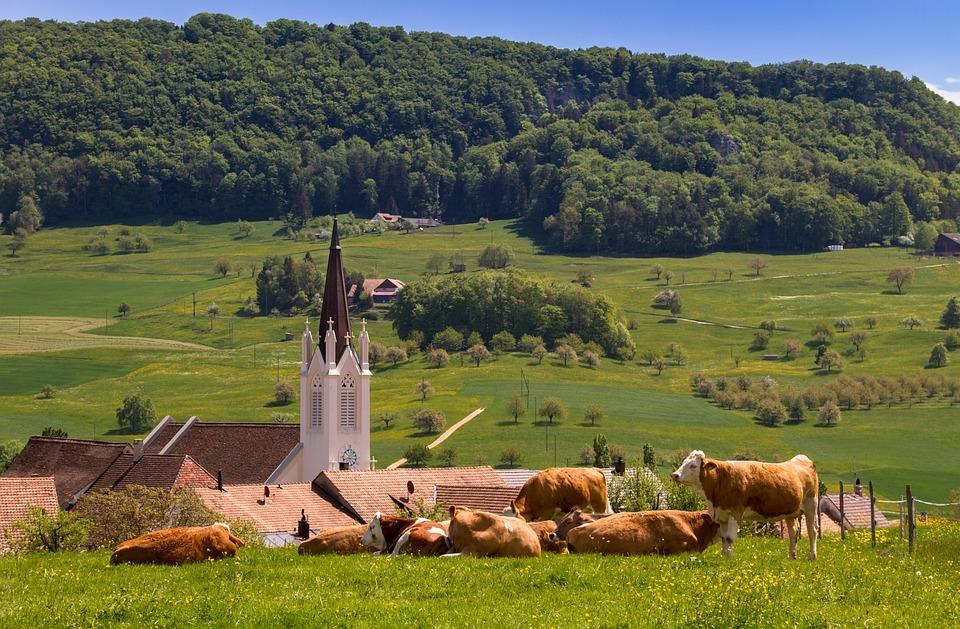 Cows, Cow, Agriculture, Grass, Steeple, Landscape