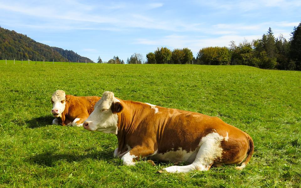 Animals, Cows, Pasture, Cattle, Agriculture, Grass