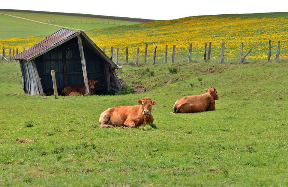 Cows, Pasture, Shed, Cattle, Grass, Animals, Landscape
