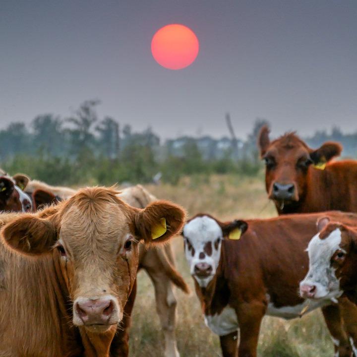 Cows, Sun, Cattle, Livestock, Graze, Grass, Pasture