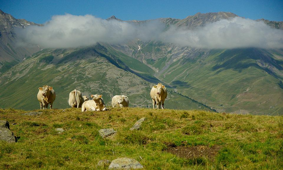 Alps, Valloire, Herd, Cows, Pasture