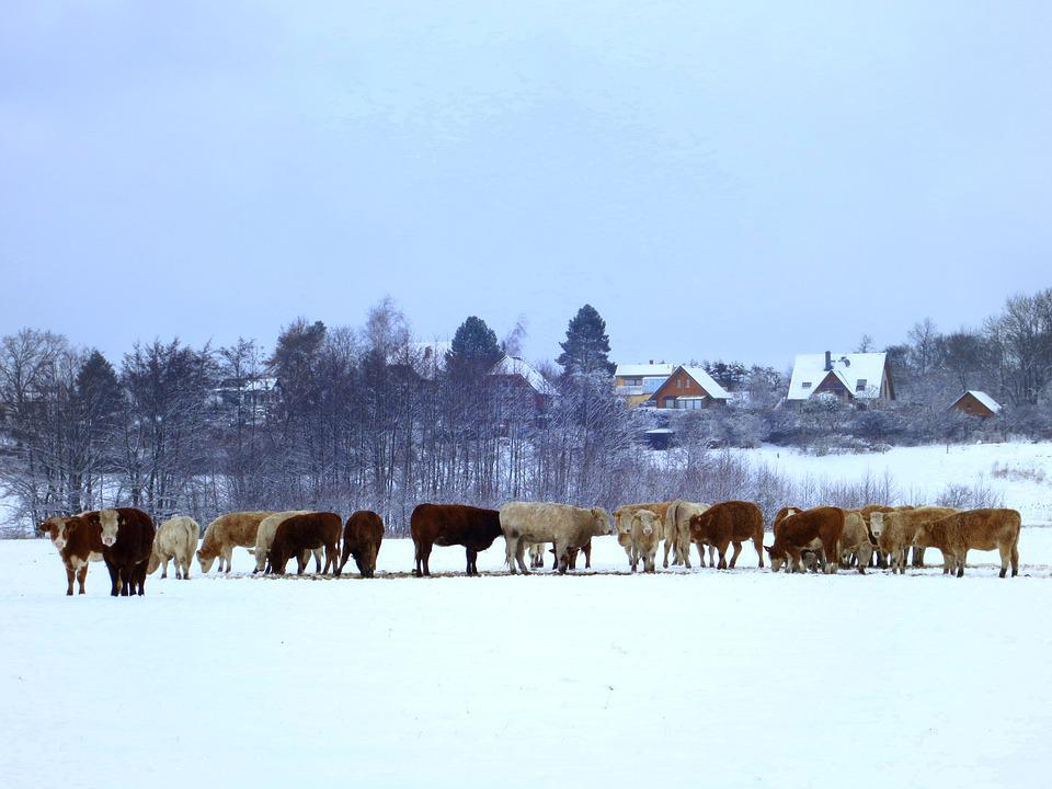 Cows, Cow Herd, Winter, Agriculture, Animals, Beef