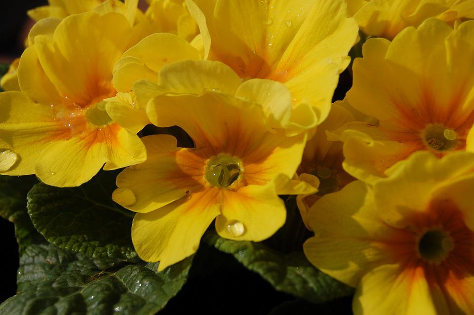 Flower, Nature, Cowslip