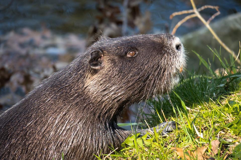 Nutria, Water Rat, Coypu, Beaver Tail, Rat Tail, Fur