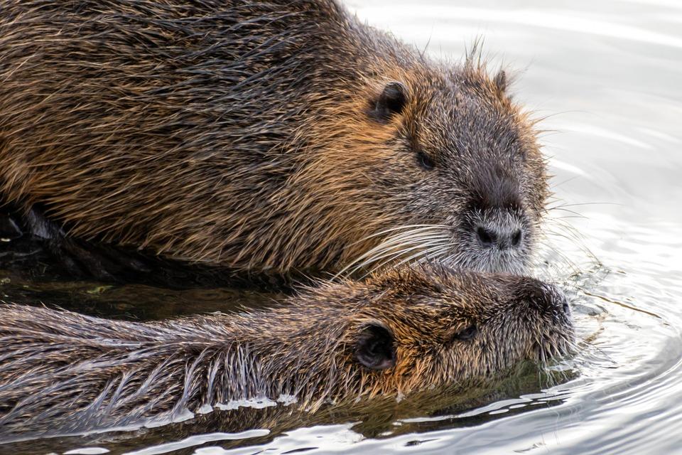 Nutria, Animals, Water, Coypu, Rodent, Mammals