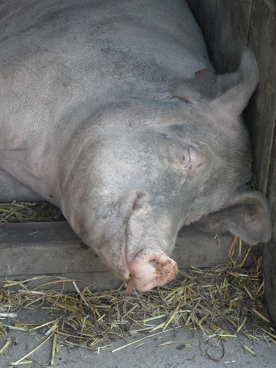 Pig, Sow, Sleeping, Head, Relaxed, Cozy