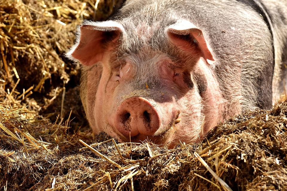 Pig, Lying, Sun, Farm Animal, Cozy, Relaxed