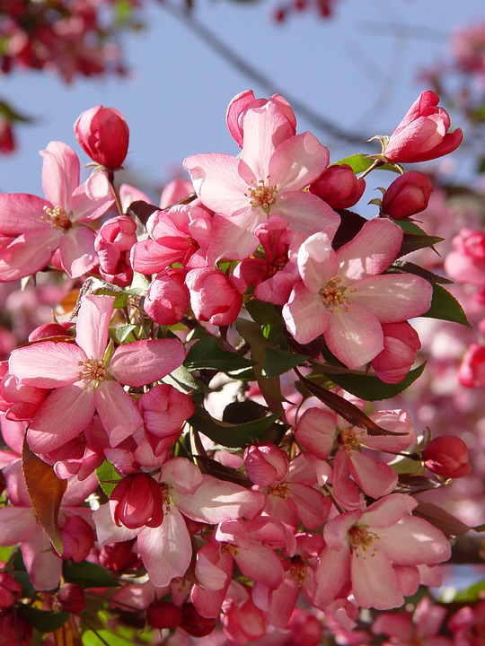 Crab, Apple, Crab Apples, Spring, Apple Blossom