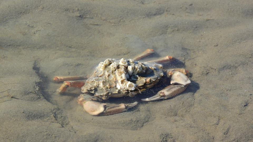 Crab, Pincers, Brachyura, Beach, Coast, Mud