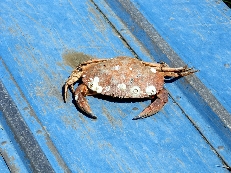 Crab, Barnacle, Crustacean, Sea, Life, Shell, Animal