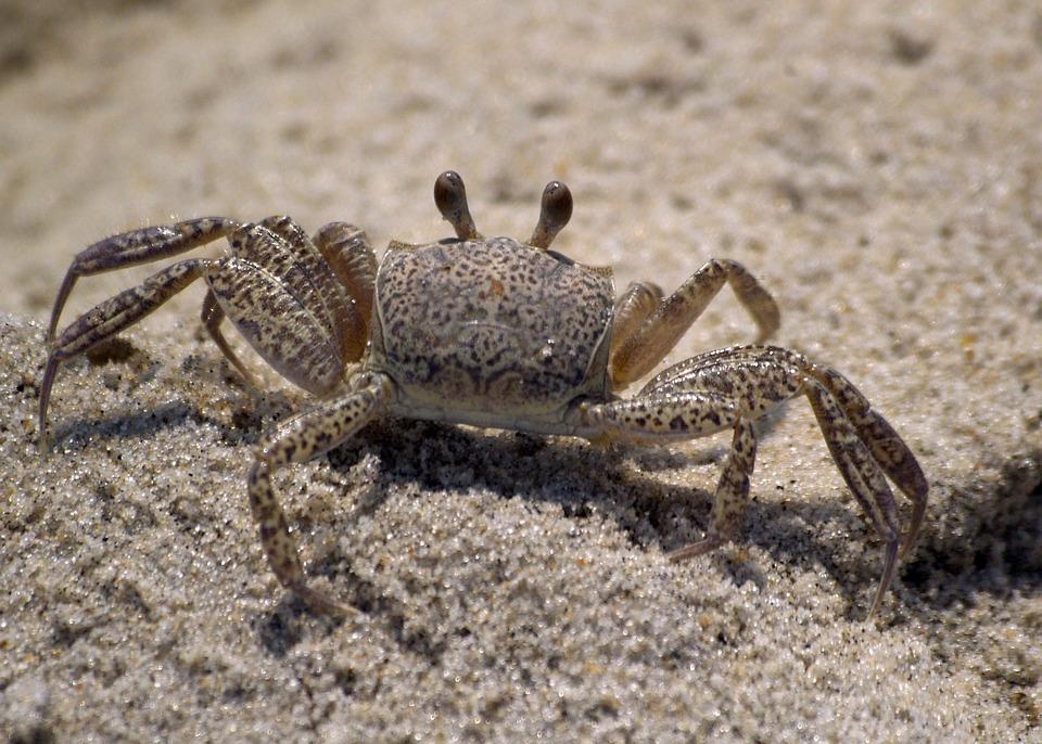 Crab, Beach, Ghost Crab, White, Sea, Island, Crustacean