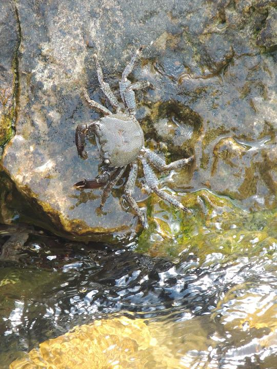 Crab, Water, Great, Pliers, Crustacean