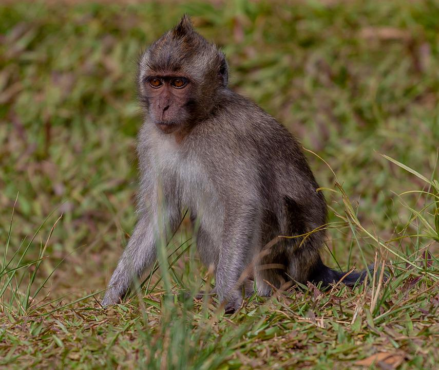 Young Long Tailed Macaque, Crab-eating Macaque, Macaque
