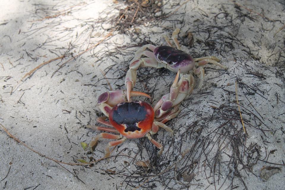 Crabs, Beach, Nature, Animals, Crustaceans, Fight