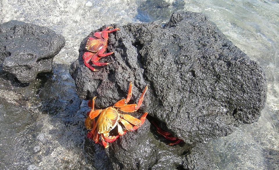 Crabs, Marine, Water, Rocks, Island, Galapagos, Ecuador