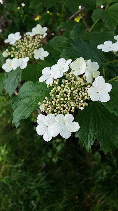 Cranberry, Blossom, Flower, Bush, Green, White