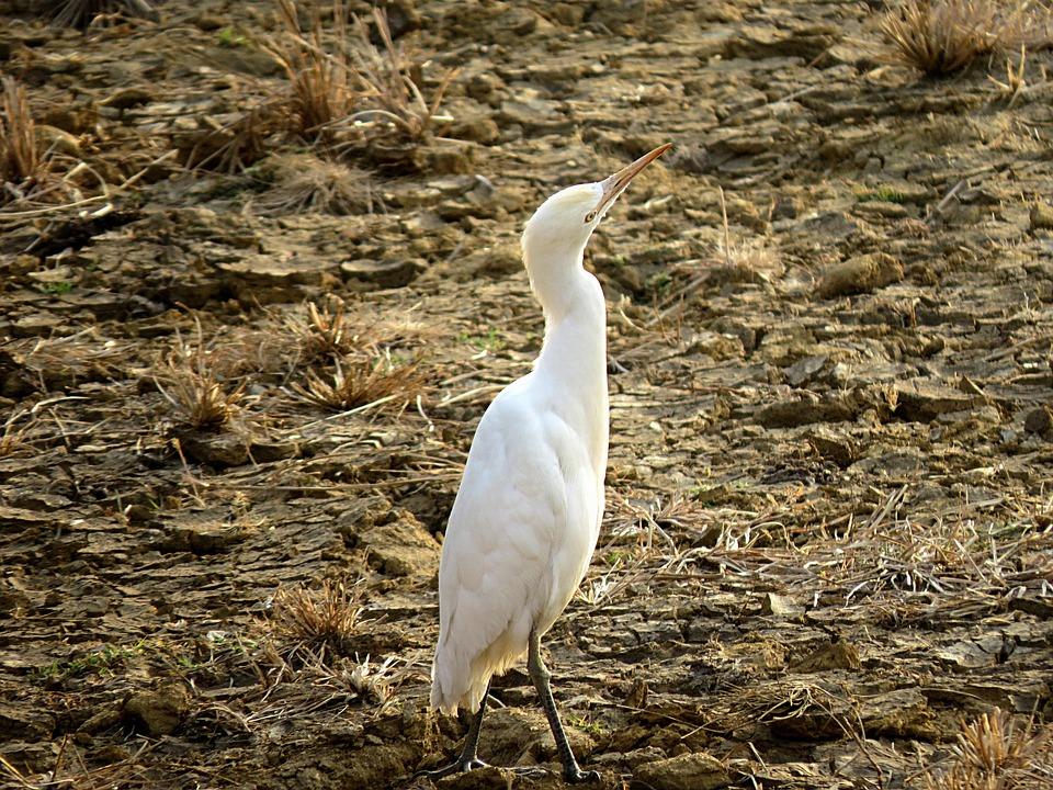 Crane, Bird, Heron, White, Birdwatching