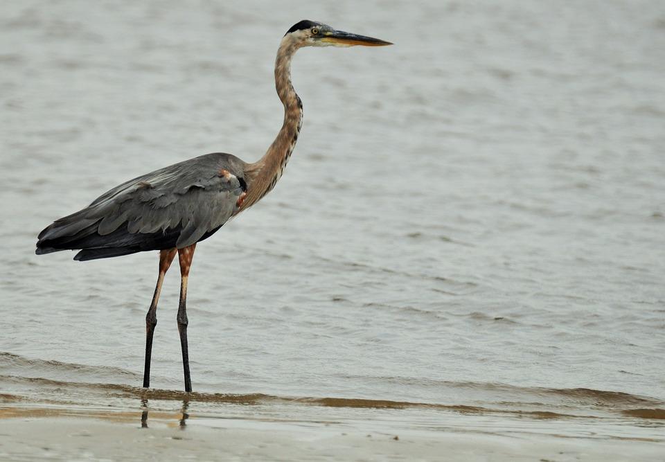 Heron, Crane, Bird, Pen, Animal, Common Crane