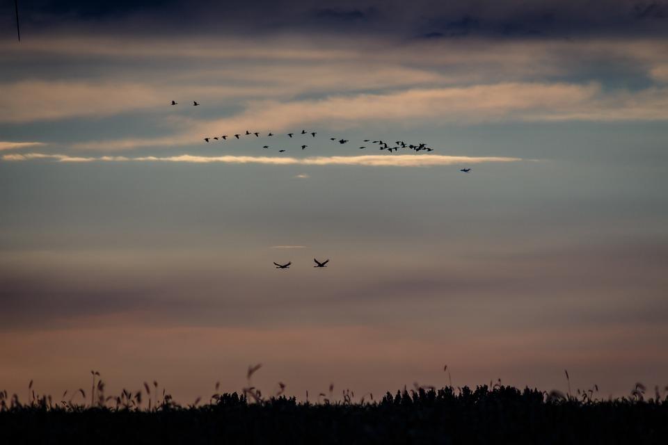 Birds, Cranes, Nature, Flying, Migratory Birds, Wing