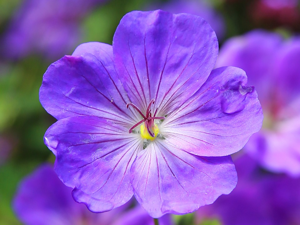 Cranesbill, Flower Blossom, Blue, Plant, Flora, Botany