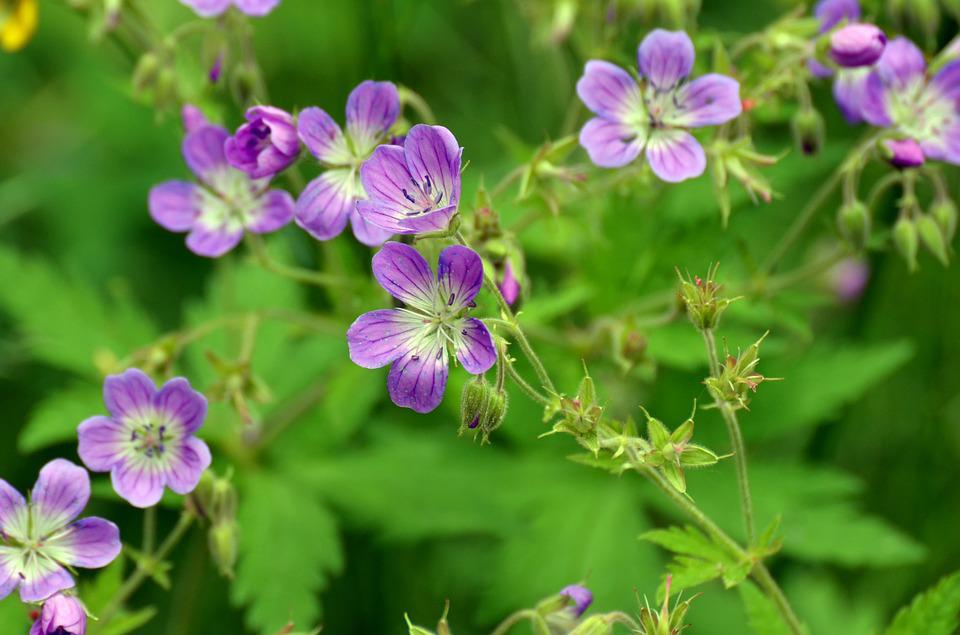 Flower, Purple, Summer, Cranesbill