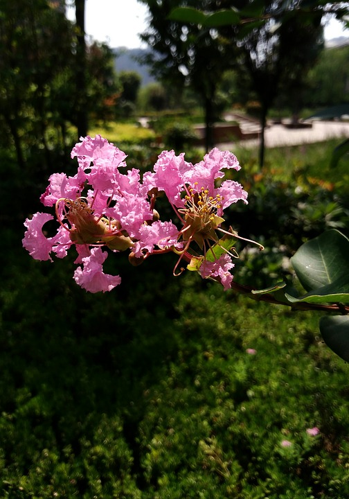 Crape Myrtle Flower, Purple, Xi'an Qujiang