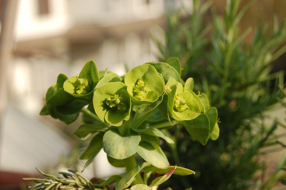 Succulent Plants, Fat Plants, Crassulacea