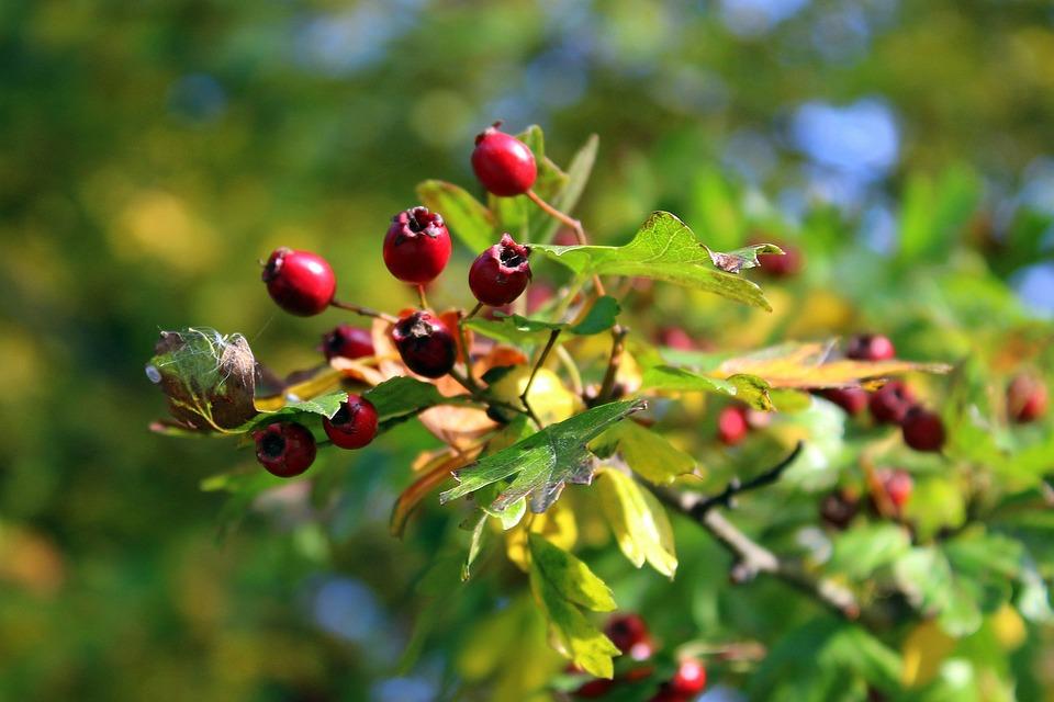 Crataegus, Bush, Autumn, Vegetation, Nature